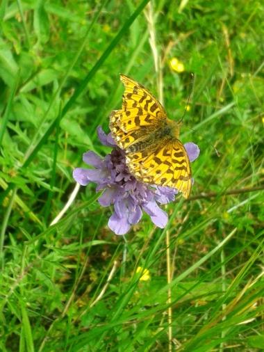 Ackerwitwenblume mit Schmetterling