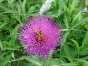 Flora_Alpendistel