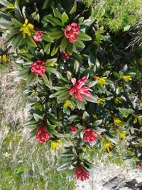 Flora_Alpenrose3