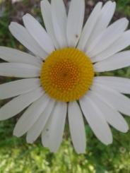 Flora_Margerite