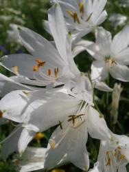 Flora_Paradieslilie
