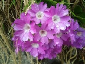 Flora_Primula