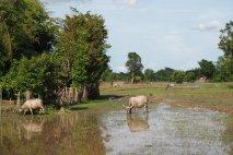 Buffaloes on Don Daeng Island