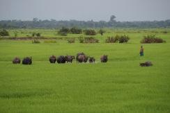 Water splashing buffaloes