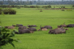 Buffaloes in the wetlands