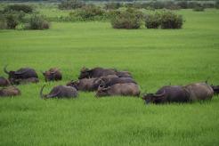 Buffaloe herd in the wetlands