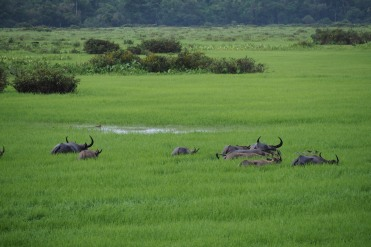 Water buffaloes deep in the wetlands