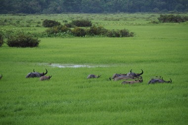 Water buffaloes deep in the wetlands