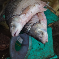 Fish from the Mekong