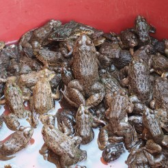Here we got them - frogs