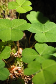 Glücksklee - Lucky clover