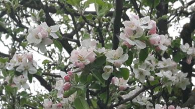 Tree blossom